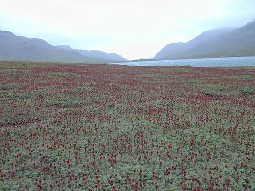 voyage geotagged vegetation rosaceae kerguelen stationalpinejosephfourier geo:lat=49329597 geo:lon=7018753 bassealtitude