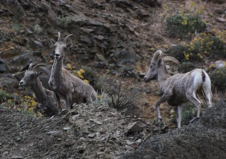 3 Amigos -- Bighorn Sheep near MP5 (Roza Boat Launch) | by Scott Butner