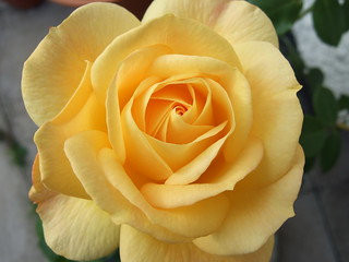 Yellow rose | by MajiksBox - resting