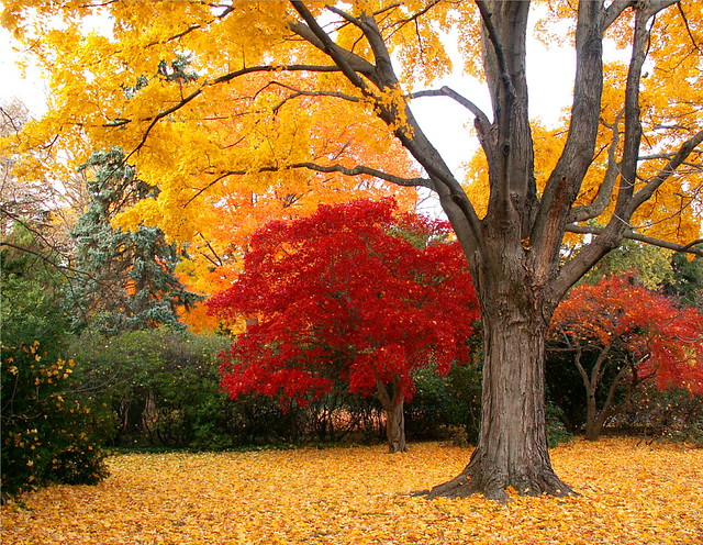 Red Maple on Yellow Carpet 3