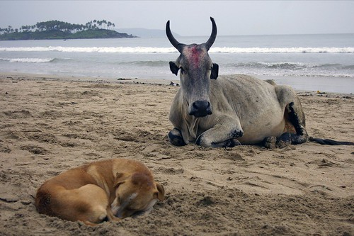 Holy cow and dog, Palolem, Goa, India. | by spiraltri3e