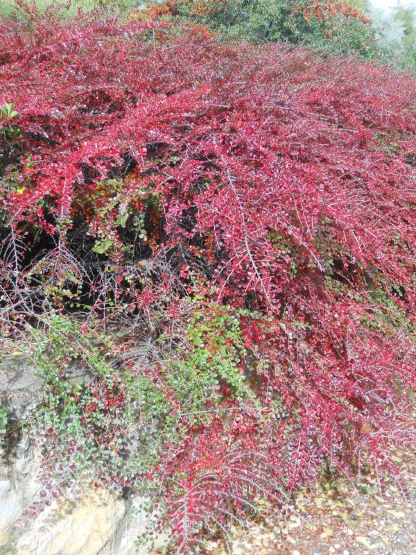 Cotoneaster en noviembre