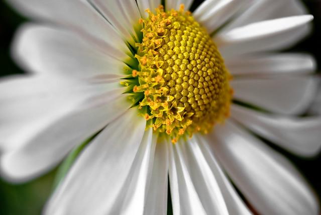 White Daisy Chrysanthemum - Wisconsin, Dousman - Spring 2010 DSC_1216-2