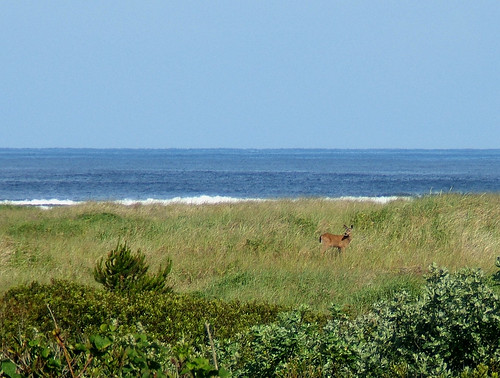 summer nature coast washington view wildlife dune deer pacificocean wa oceanshoreswa odocoileushemionus blacktaildeer experiencewa june2007 shesnuckinfuts washingtonstateoutdoors deerinthedunes