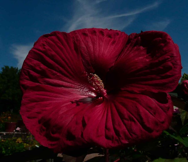 mom's-red-hibiscus-08