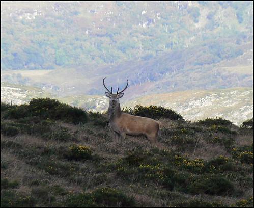 Red Deer near Torc, Killarney   by mozzercork