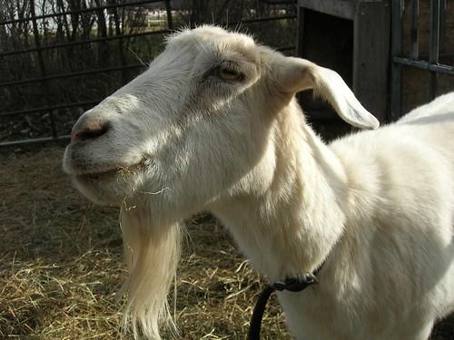 Peter Gabriel goat | by Dano