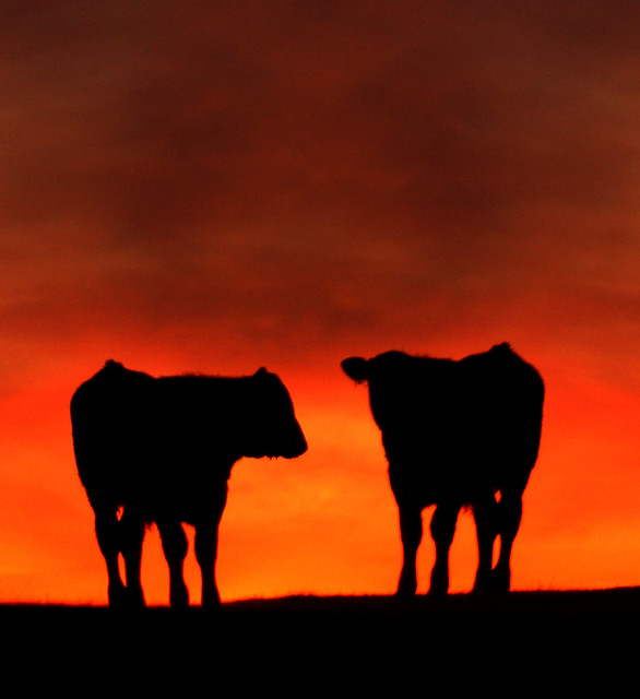 Apocalypse cow. (Silhouetted against a blood red sky)
