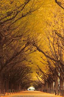 Ginkgo Trees   by mrhayata