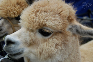 Alpaca | by {every}nothing wonderful