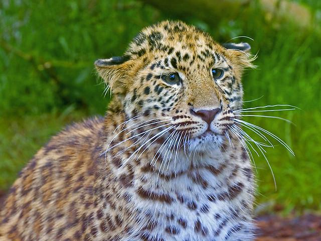 Amur Leopard Cub In The Rain