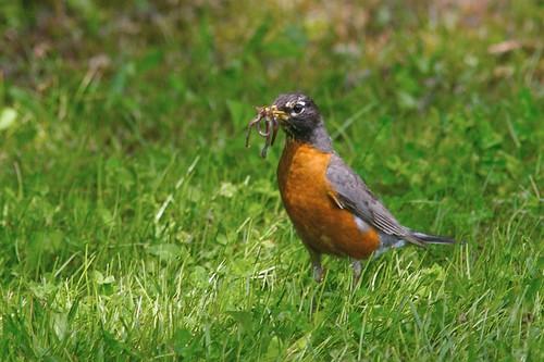 Robin wtih Worm #2 - Crop | by poplinre