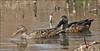 Australasian Shoveller by aaardvaark
