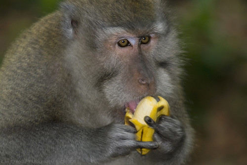 Mmmmm, tasty! errr… say ♥_♥ ba-na-nas?  okay, now throw me another banana!...♫♫ wildlife from bali ♫ | by bocavermelha-l.b.
