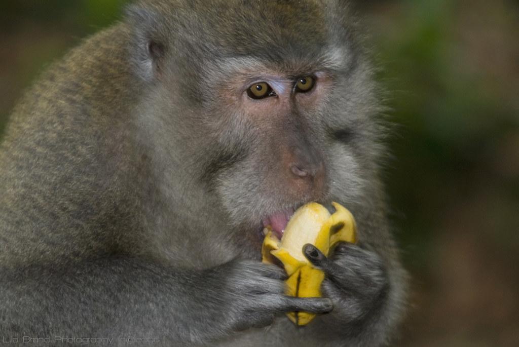 Mmmmm, tasty! errr… say ♥_♥ ba-na-nas?  okay, now throw me another banana!...♫♫ wildlife from bali ♫ by bocavermelha-l.b.