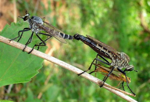 Robberflies Mating while Dining