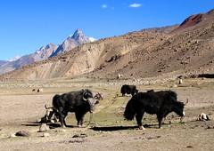 Yaks,  Chapursan Valley