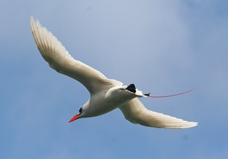 Red-tailed Tropicbird | by tropical.pete