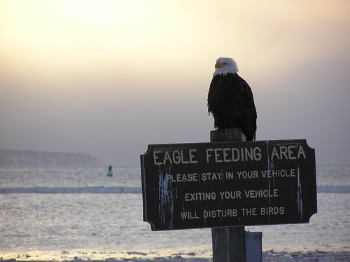 Winter time eagle | by Tom n KC