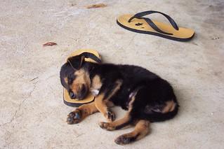 Puppy flop in Vanuatu | by yumievriwan