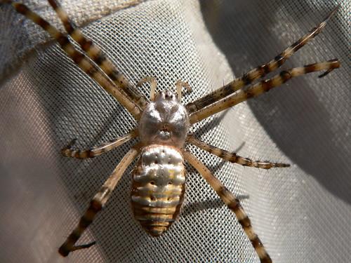 Chelicerata: Arachnida: Araneae: Araneidae