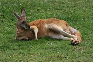 Red Kangaroo | by anthonycramp