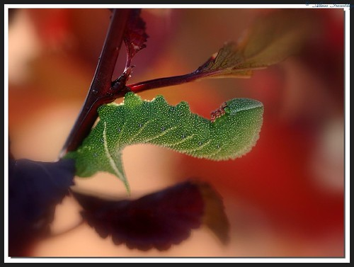 macro vivid caterpillar soe chenille naturesfinest supershot mywinners anawesomeshot aplusphoto diamondclassphotographer buzznbugz