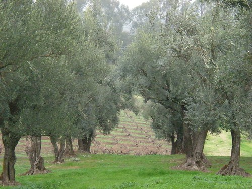 Olive Trees at B.R. Cohn Winery & Vineyard | by sarahstierch