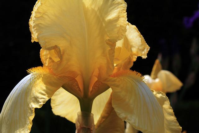 Les Iris du Jardins de Bagatelle