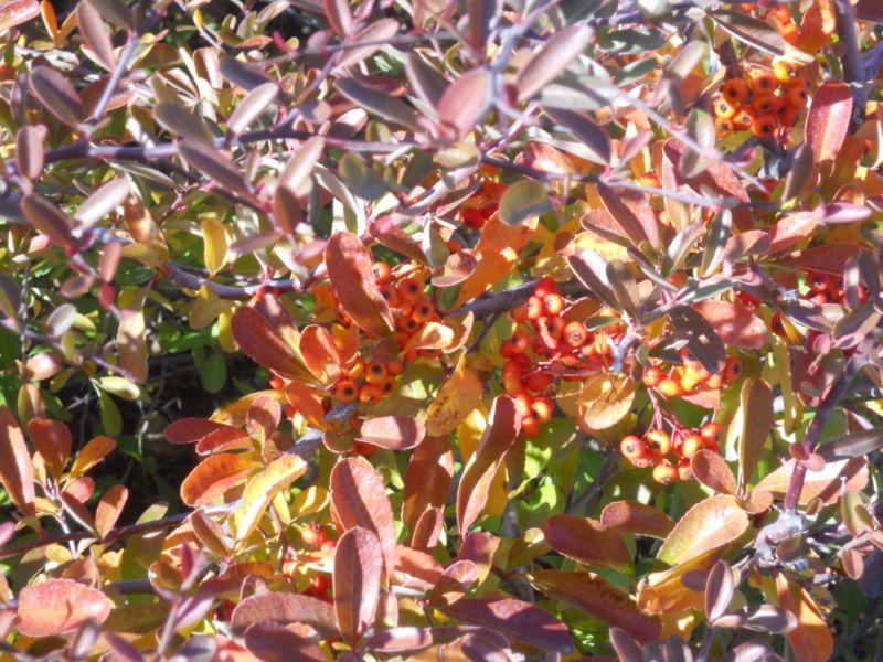 Pyracantha coccinea 'Orange Glow' (espino coral) en otoño