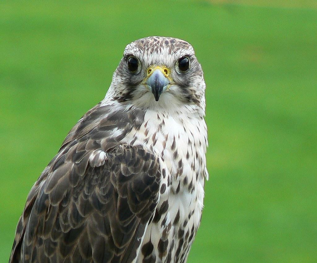 Peregrine Falcon Feeding | Birds | Wildlife | Photography