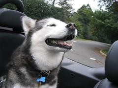 Seya the Alaskan Murder Wolf (Husky)   by DanCentury