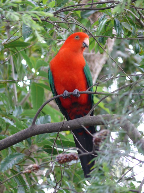 King Parrot - male