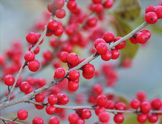 Winterberries | by Lida Rose