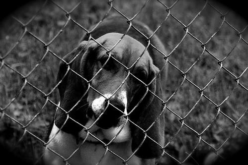 fab bw dog blancoynegro beagle wow geotagged blackwhite spring kentucky lovely1 bn april flickrwow carpediem 1on1 flickrfaves smörgåsbord louisvilleky canoneosdigitalrebel 4aces fernvalley yourpride okiedokie thecontinuum 123bw 1on1pets 1on1bw 1on1objects ivebeencuted mnfg centralkentucky commentscommentscomments kakadoopicturediversity generouscomments 123ndpl flickraward zerofaves globalvillage2 lunarvillage fluffypuffy blackandwhitefeelings solobn 2550viewsgroup geo:lat=3815997 geo:lon=85686407