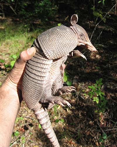 animal armadillo claws noshoes