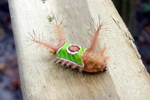 insects saddleback limacodidae achariastimulea slugcaterpillars caterpiallars