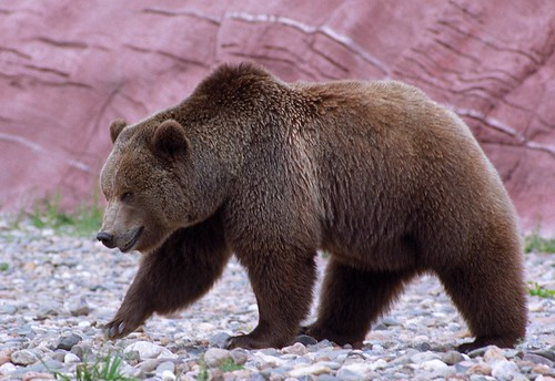 Grizzly Bear | by chascar