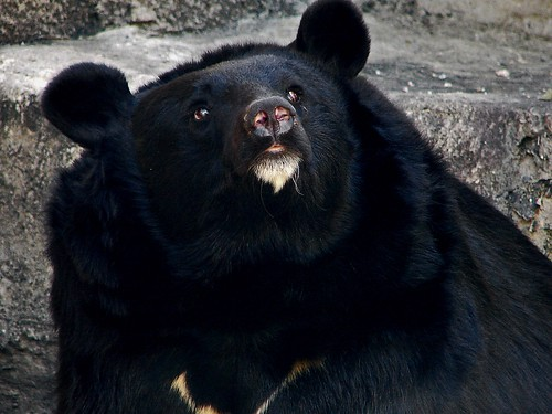 Japanese Black Bear | by muzina_shanghai