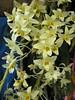 Dendrobium rhombeum