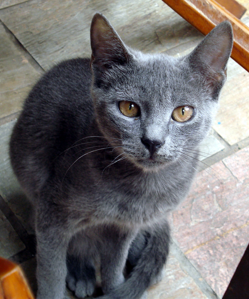 Crete Cats Cute Grey Cat Grey Cat In Crete Almazuk Flickr
