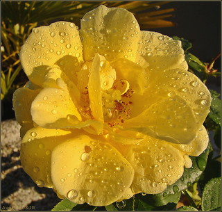 Yellow Rose & Drops!!!