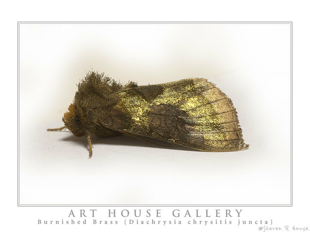 Burnished Brass (Diachrysia chrysitis juncta)