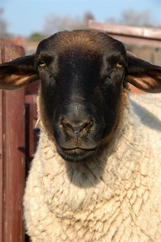 sheep   by cotaro70s