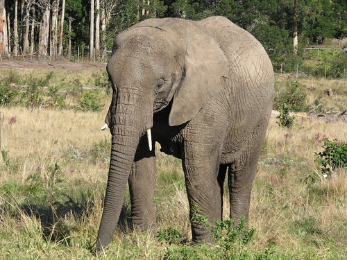 Elephant at Knysna | by MyAngelG