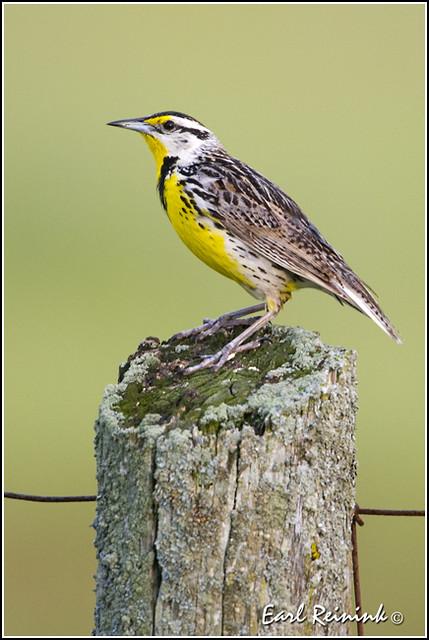 Meadowlark (Eastern) - 0001
