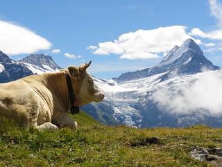 cow | by twicepix