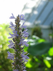 Flower, Lady Norwood Rose Garden