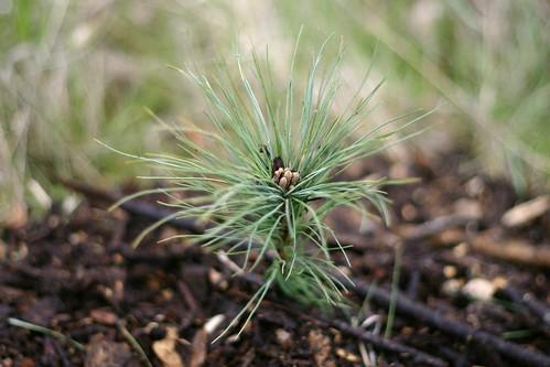 Grow Little Pine Tree