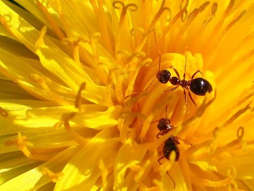 Ants on dandelion